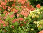 рододендроны в японском саду