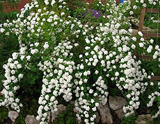красивоцветущие кустарники
