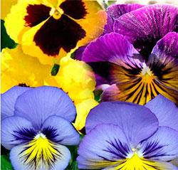 цветники из однолетников